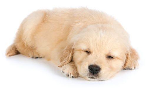 Slapende pup